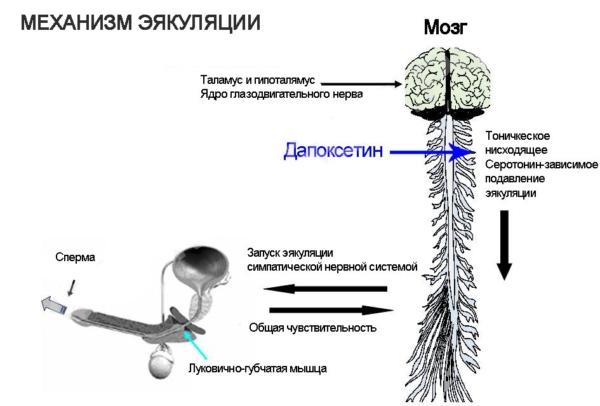 действие Дапоксетина на эякуляцию